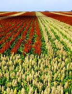 ソルガム畑