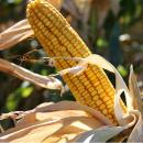 thumb_corn
